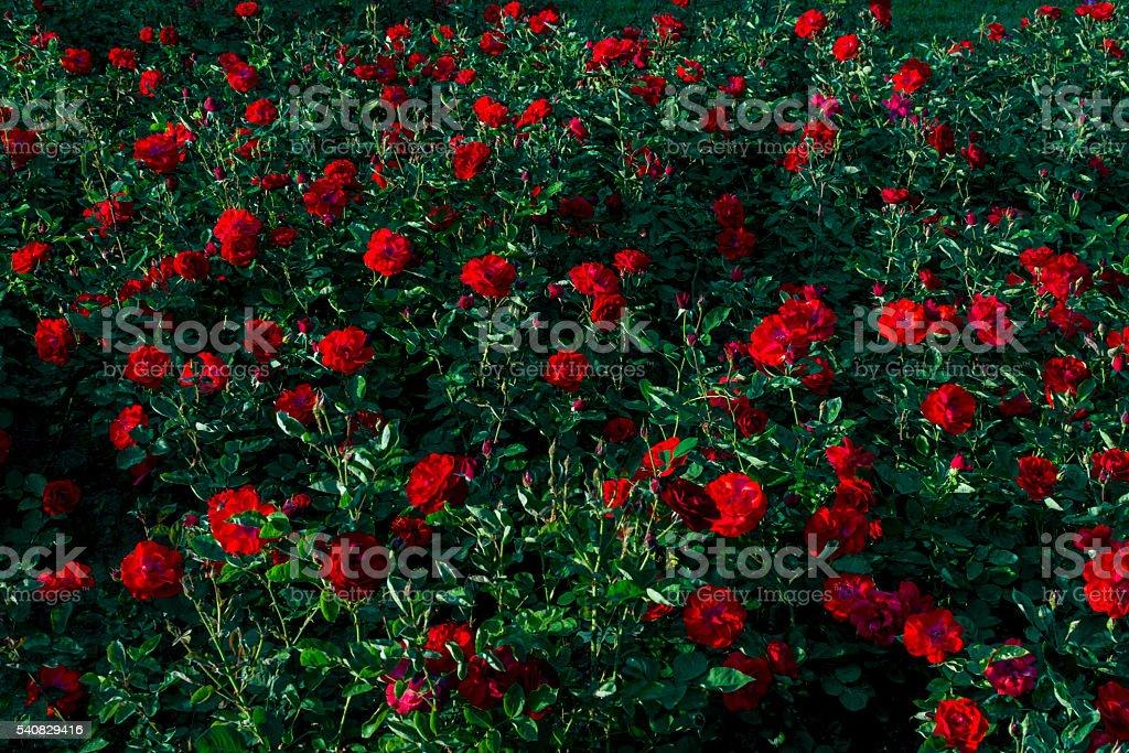 Genial Closeup Of A Red Rose Garden Stock Photo