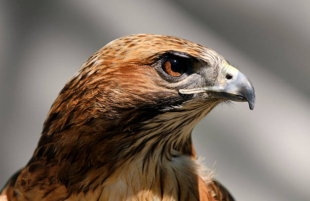 close-up of a red tailed hawk buteo jamaicensis - falcon bird stock photos and pictures