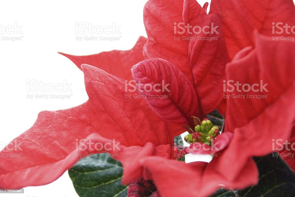 closeup of a red winter rose royalty-free stock photo