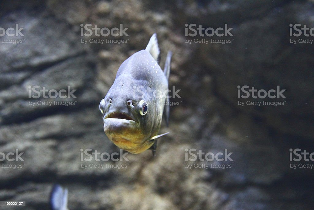 Closeup of a Red-Bellied Piranha stock photo