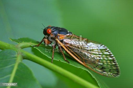 cicada on plant leaf