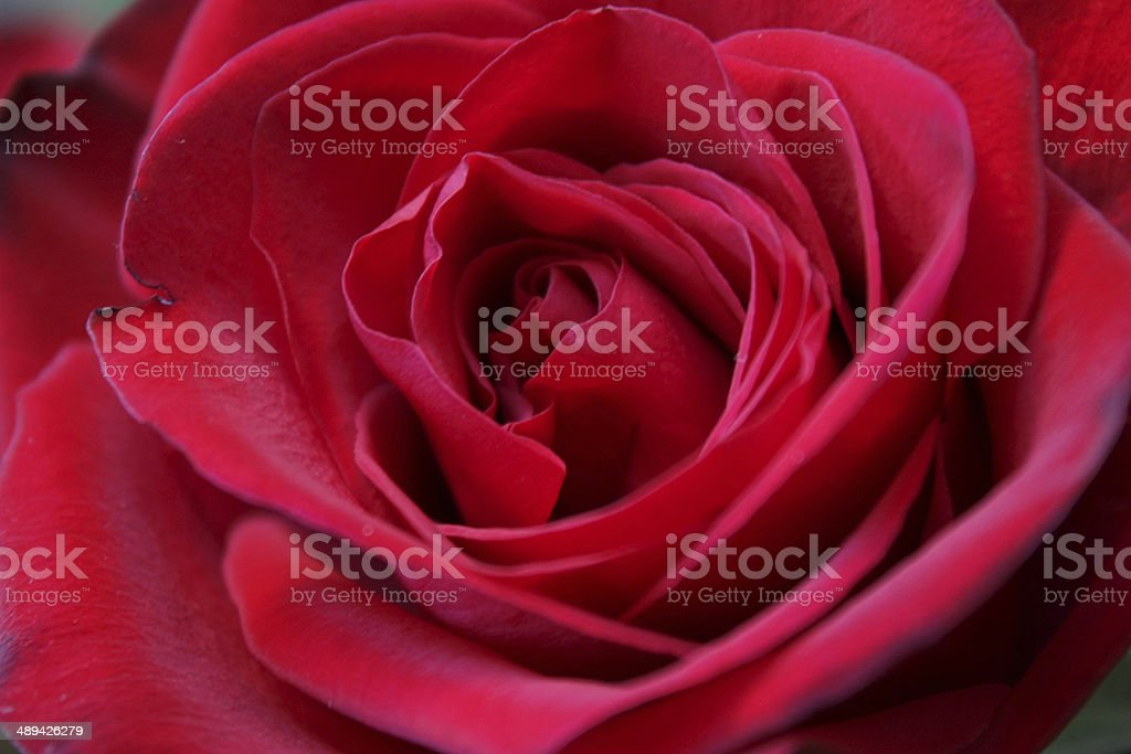 Closeup of a red/pink rose royalty-free stock photo