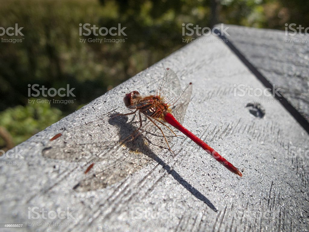 Close-up of a Red-veined darter (Sympetrum fonscolombii) stock photo