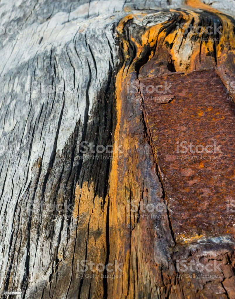 close-up of a rusting metal plate lodged in a large driftwood tree stock photo
