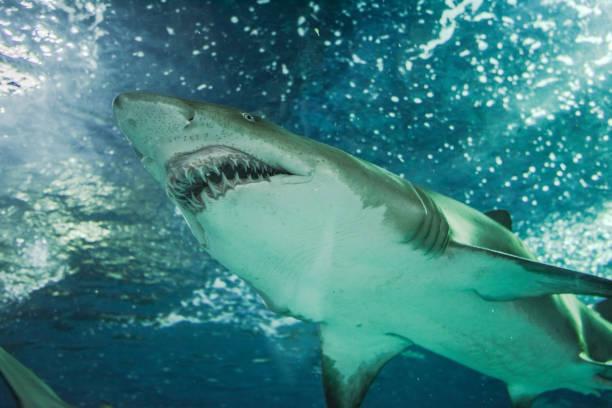 Nahaufnahme eines Hais Sand geschossen von unten – Foto