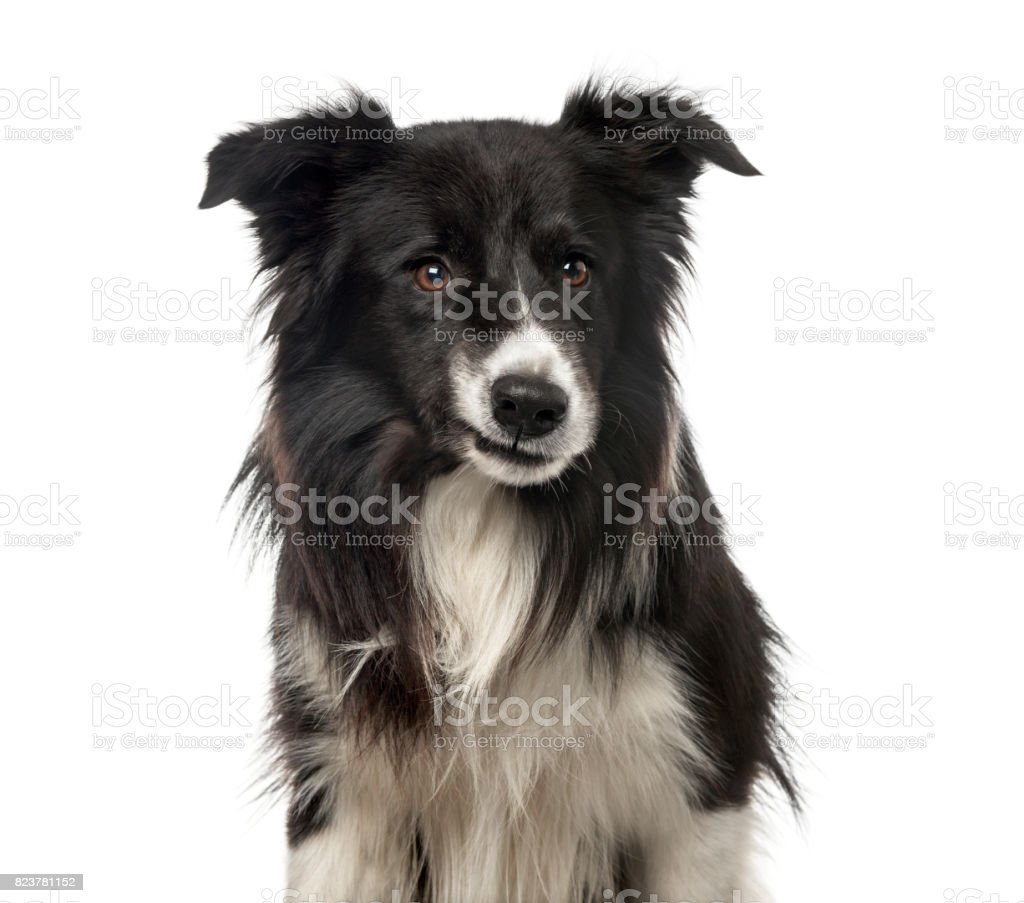 Close-up of a sardonic Border Collie , isolated on white stock photo