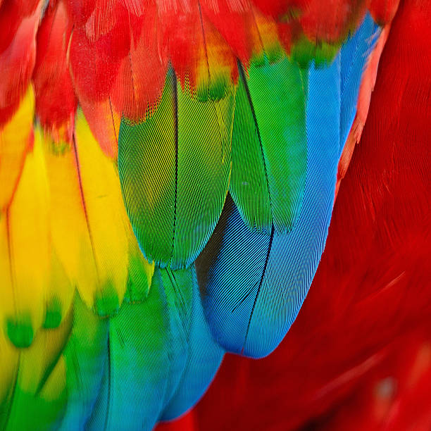 close-up of a scarlet macaw's feathers - green winged macaw stock photos and pictures