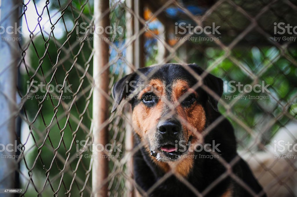 Closeup of a scary black dog royalty-free stock photo