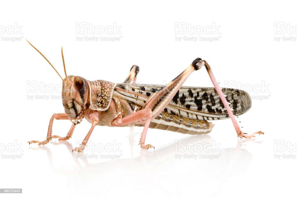 A close-up of a schistocerca gregaria, desert locust royalty-free stock photo