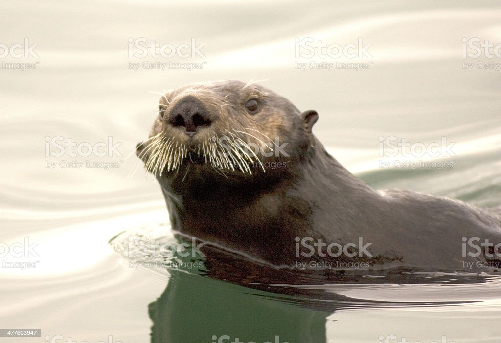 Close-up of a Sea Otter stock photo