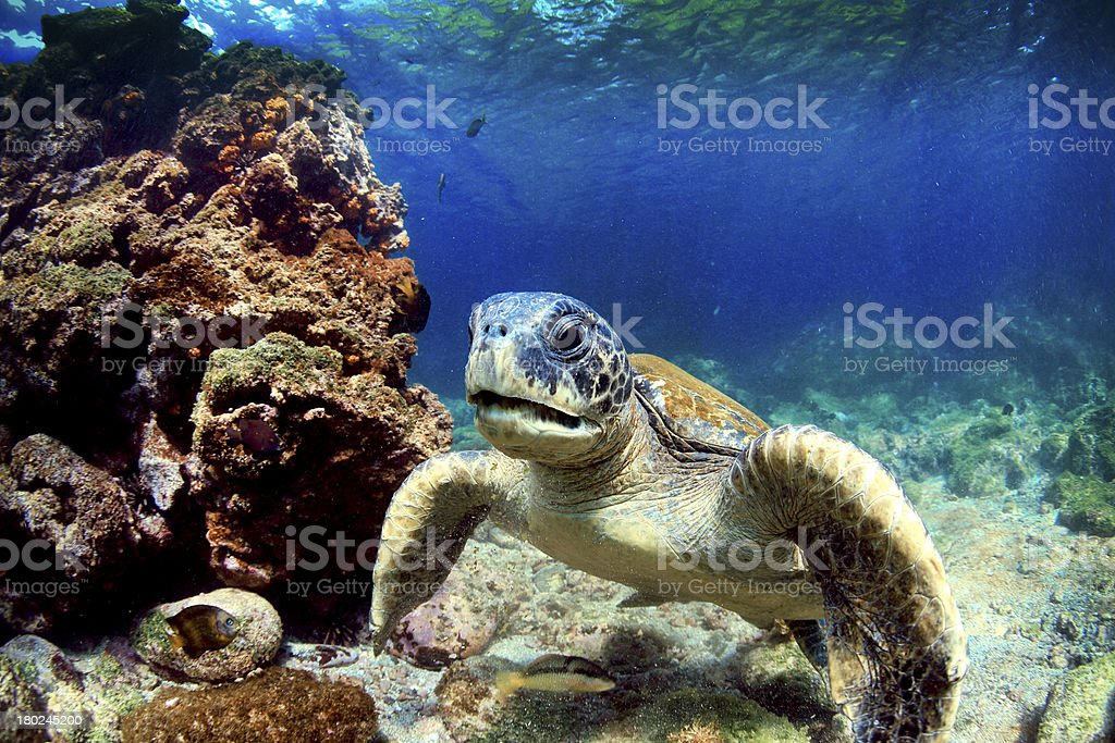 A close-up of a sea turtle underwater near coral stock photo
