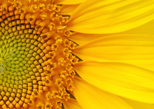 Closeup of a section of a sunflower