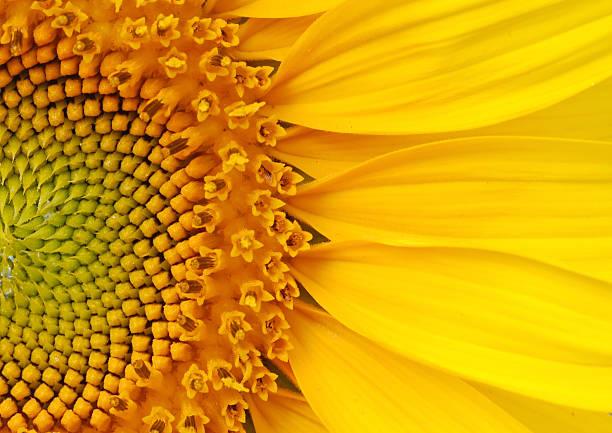 closeup of a section of a sunflower - 特寫 個照片及圖片檔
