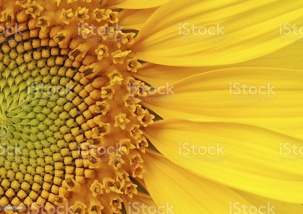 Closeup of a section of a sunflower stock photo