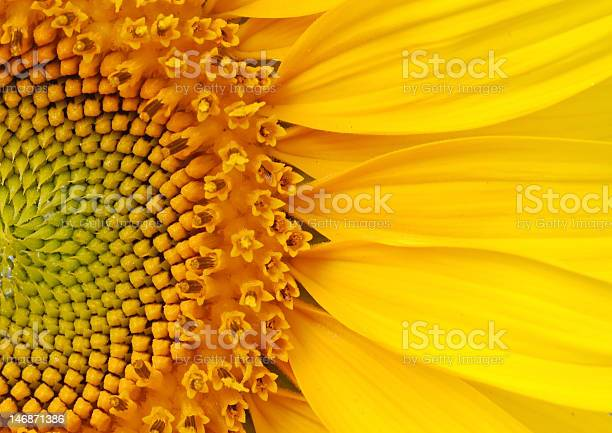 Photo of Closeup of a section of a sunflower