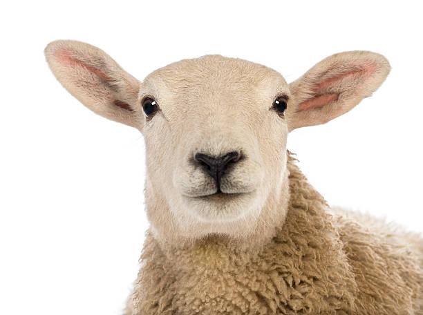 Primo piano di una testa di pecora su sfondo bianco - foto stock