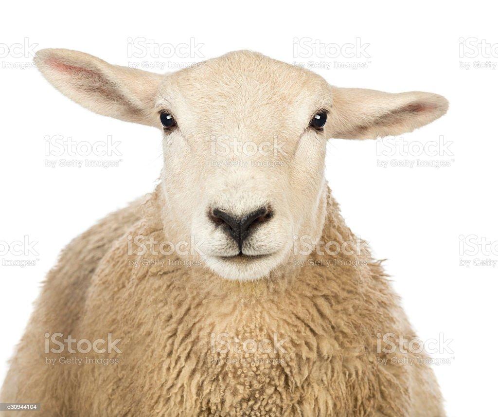 Nahaufnahme eines Schafskopf gegen weißem Hintergrund – Foto