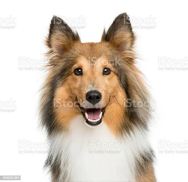Closeup of a shetland sheepdog picture id509092362?b=1&k=6&m=509092362&s=612x612&h=wiawuwglbz9i0fkyluooh v8kcmq6sdz8hnkn0cbjk0=