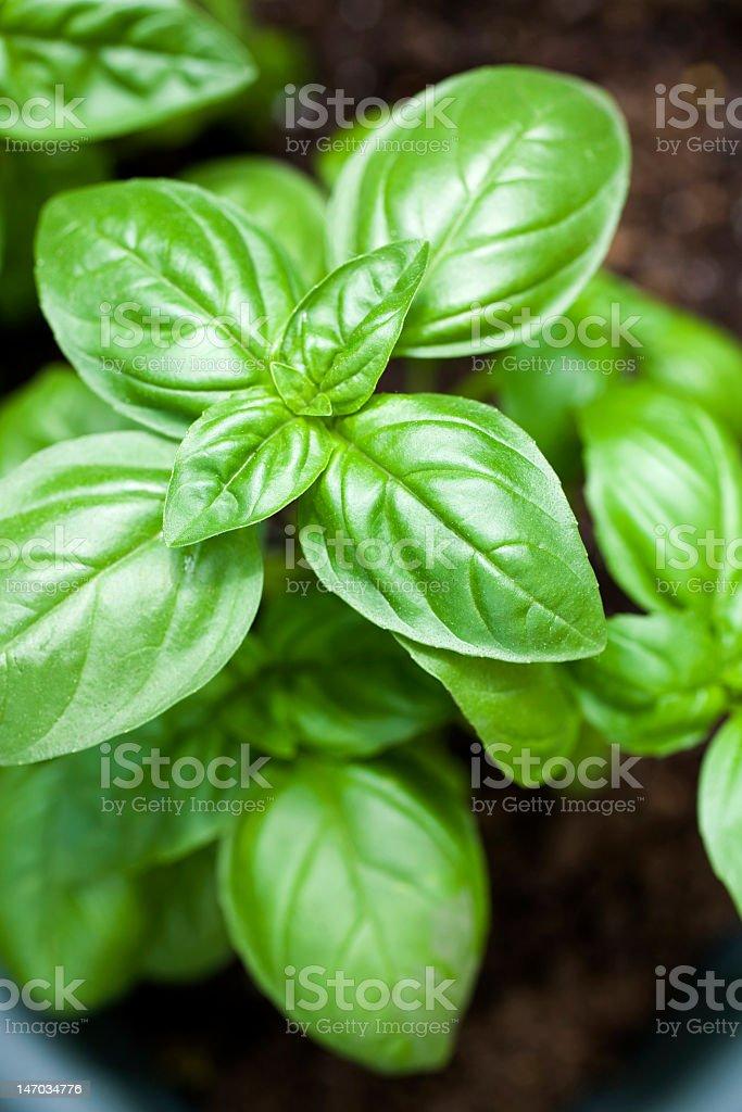 Closeup of a shiny basil plant stock photo