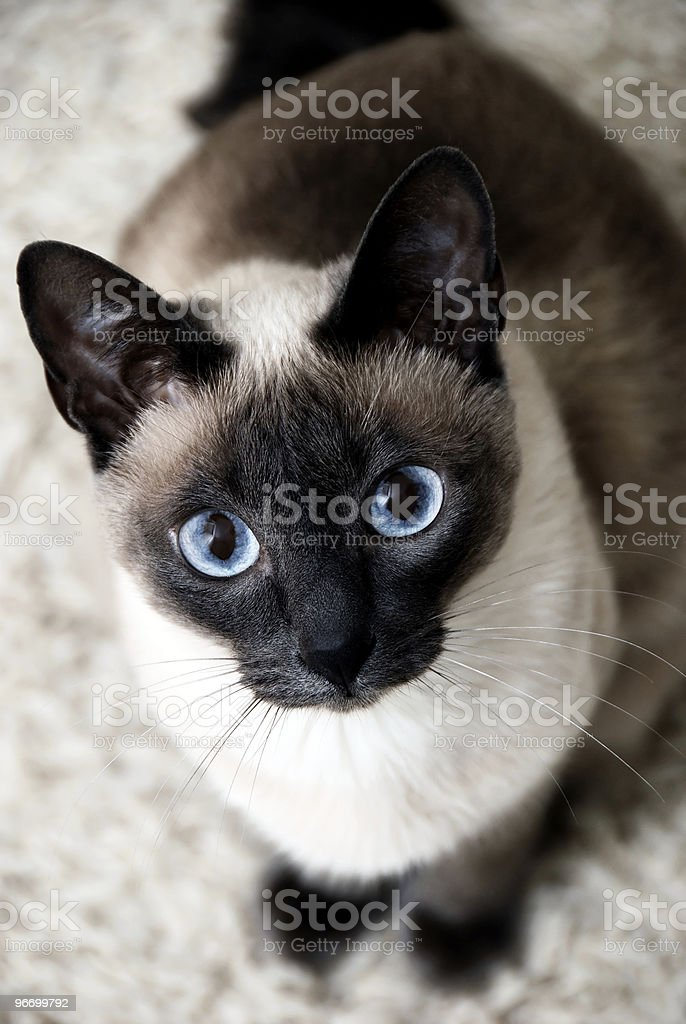 Close-up of a Siamese cat posing for a picture stock photo