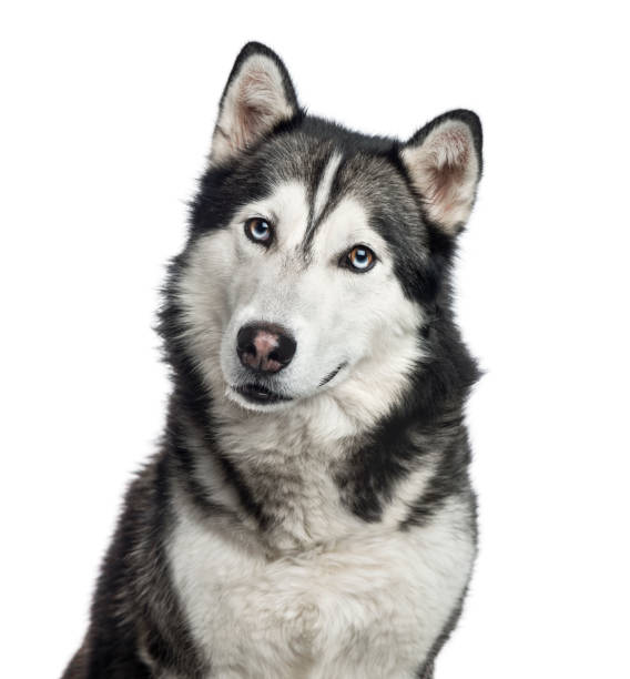 Close-up of a Siberian Husky, 4 years old , isolated on white Close-up of a Siberian Husky, 4 years old , isolated on white sled dog stock pictures, royalty-free photos & images