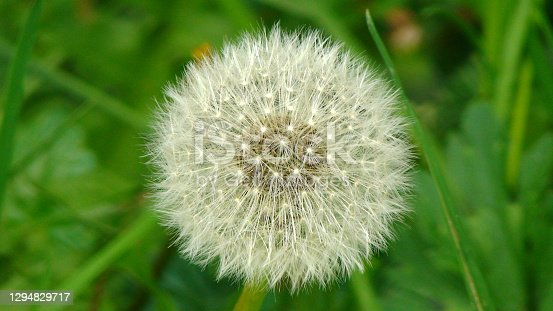 Closeup of a single dandelion with blurred background of green grass