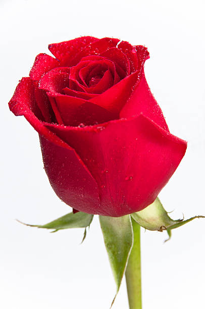Close-up of a single red rose stock photo