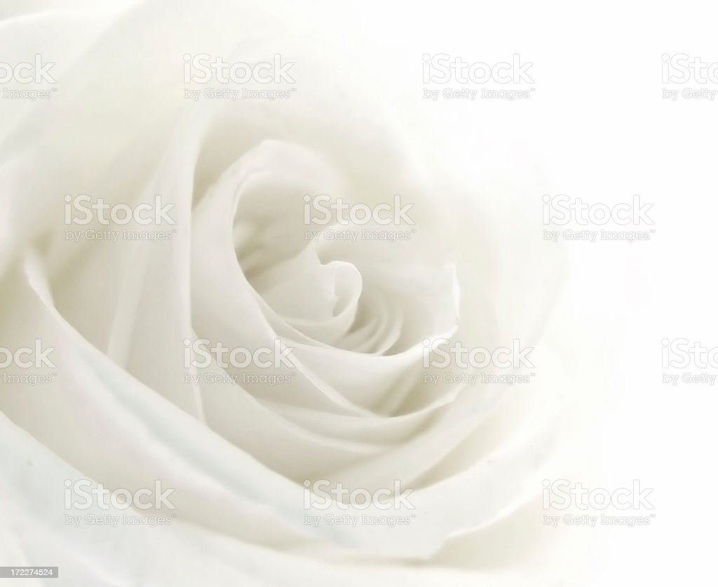 A close-up of a single white rose royalty-free stock photo