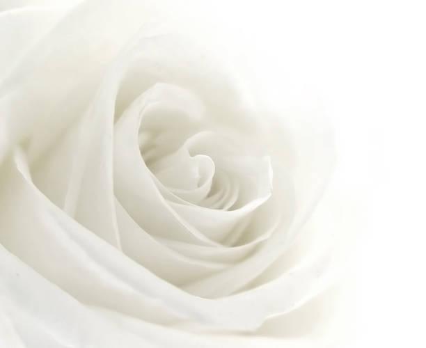 Closeup of a single white rose picture id172274524?b=1&k=6&m=172274524&s=612x612&w=0&h=5lwre kxumr vs9yl0juwlnyin9tzgrydqk2zk cjni=