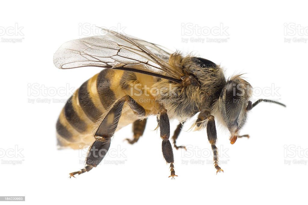 Close-up of a single yellow and black honey bee stock photo