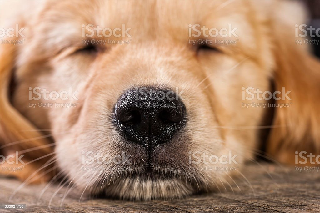 Close-up of a sleeping 7 week old Golden  Retriever puppy stock photo