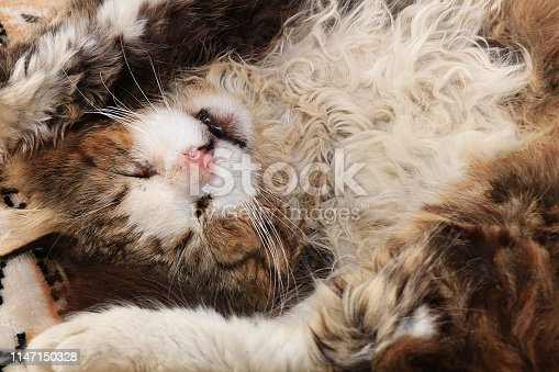 Close-up of a sleeping cat, a cat has found its home and is happy rescue animals from the street. Cozy house with pets