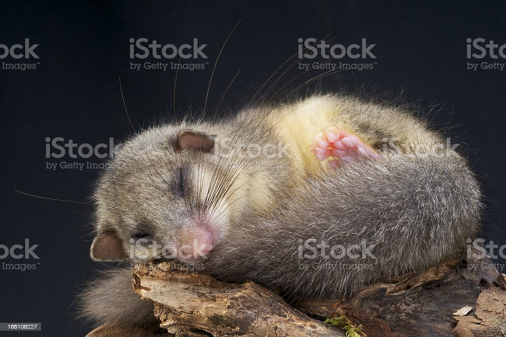 A close-up of a sleeping dormouse stock photo