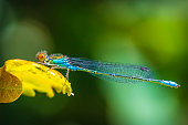 Mating Azure Damselflies (Coenagrion puella)