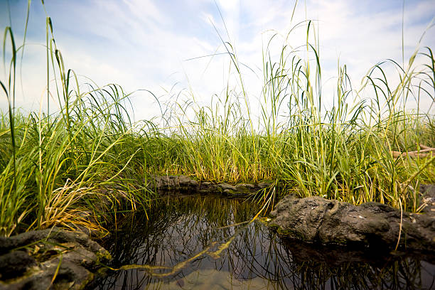 Close-up of a small swamp surrounded by tall green grass stock photo