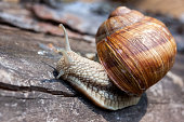 close-up of a snail with a shell crawling on a tree