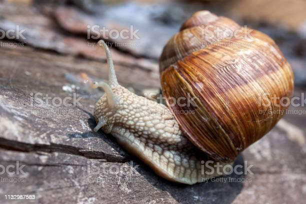 Closeup of a snail with a shell picture id1132987583?b=1&k=6&m=1132987583&s=612x612&h=cifoevksbtyak5eklmoq0hptxgr9wio8icu22cj3mnq=