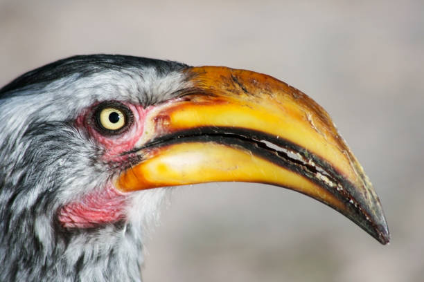 Close-up of a southern yellow-billed hornbill in Central Kalahari Game Reserve, Botswana. stock photo