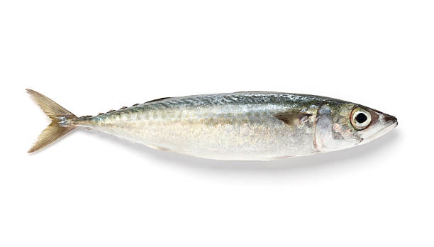 Close-up of a Spanish mackerel on white background Mackerel isolated on white background dorsal fin stock pictures, royalty-free photos & images