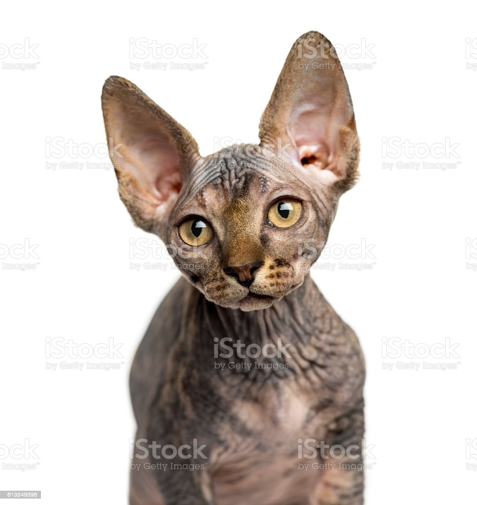 Closeup Of A Sphynx Kitten Looking Away Isolated On White Stock
