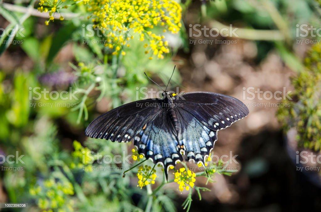 Closeup de uma borboleta rabo de andorinha Spicebush - foto de acervo