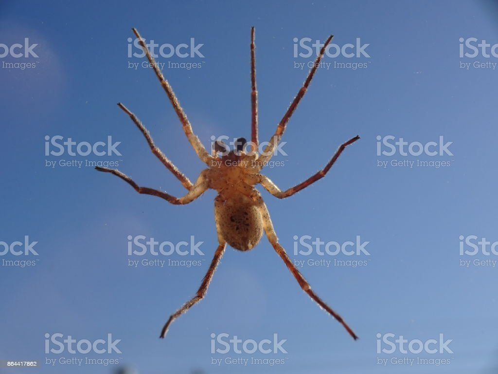 closeup of a spider at a window, wolf spider tarantula in Germany stock photo