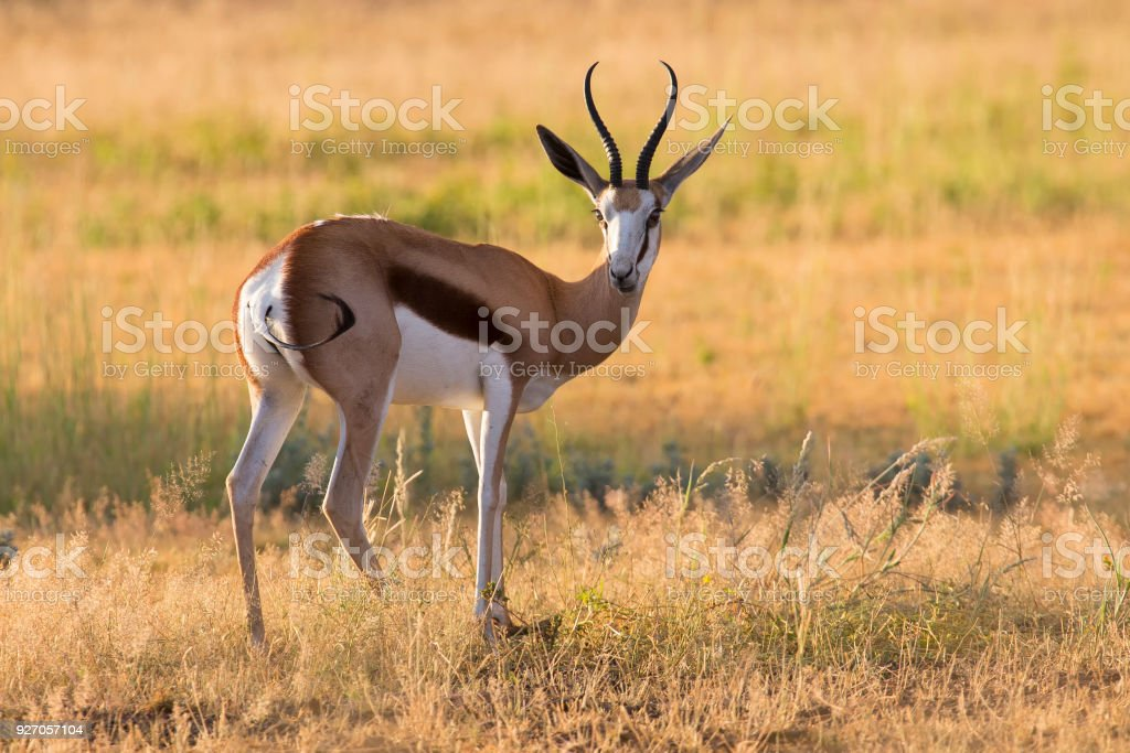 Close-up of a springbok standing on the short grass of a plain in the Kgalagadi stock photo