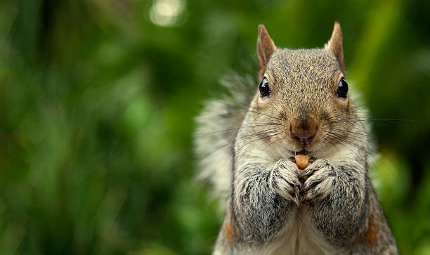 a close-up of a squirrel eating a nut - squirrel stock photos and pictures