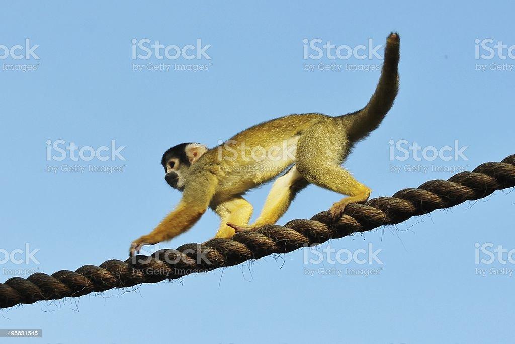 Close-up of a Squirrel Monkey- Saimiri sciureus royalty-free stock photo