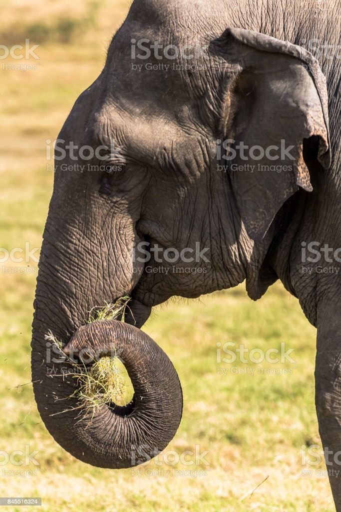 Close-up of a Sri Lankan Elephant eating grass stock photo
