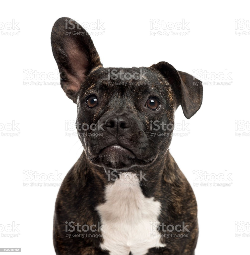 Close-up of a Staffordshire Bull Terrier stock photo
