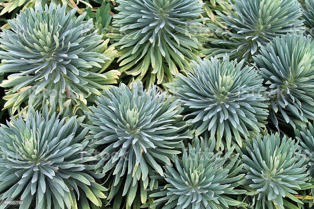 Closeup of a Succulent Garden royalty-free stock photo