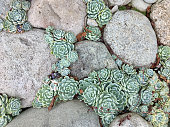 'Hens and Chicks' Sempervivum or Houseleeks growing between River Stone Pavers in a Garden Path.