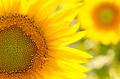 Closeup of a Sunflower.